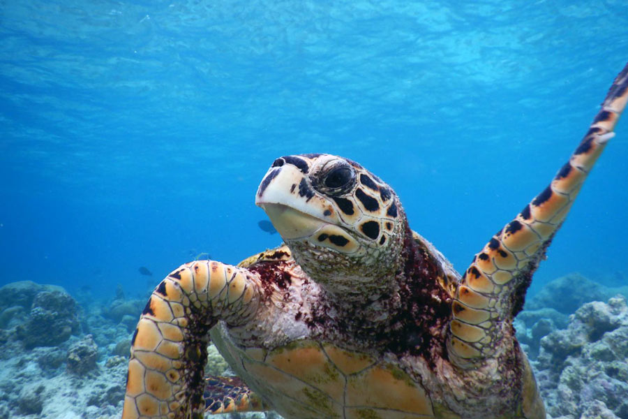 Keno, haksbill turtle, with raised flipper. Image.