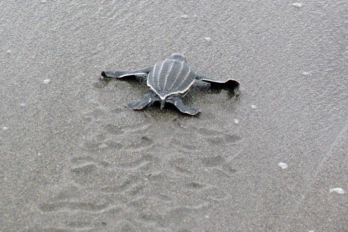 Leatherback hatchling scrambling to the water. ©Joana Hancock. Image.