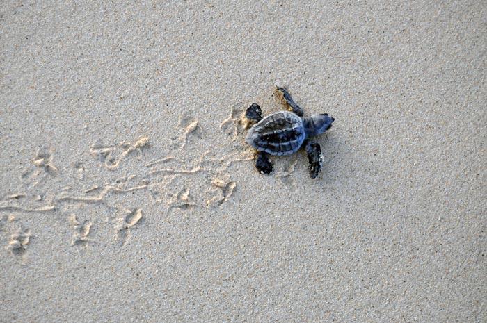 Loggerhead hatchling on the beach. © Joana-Hancock. Image