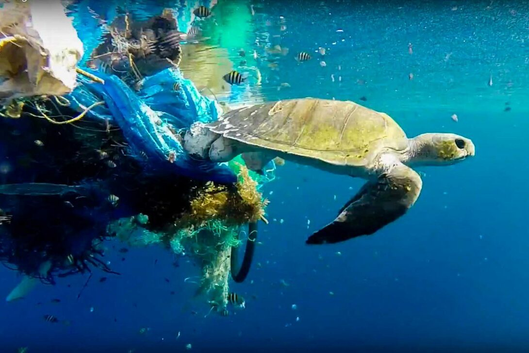 Olive ridley sea turtle pulling ghost gear under water Maldives