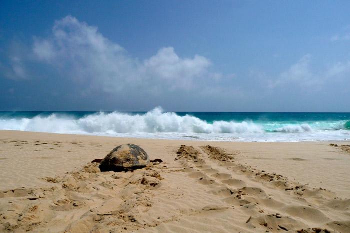 Tracks of nesting loggerhead turtle returning to water, Boavista Cape Verde. ©Stephanie Köhnk. Image.