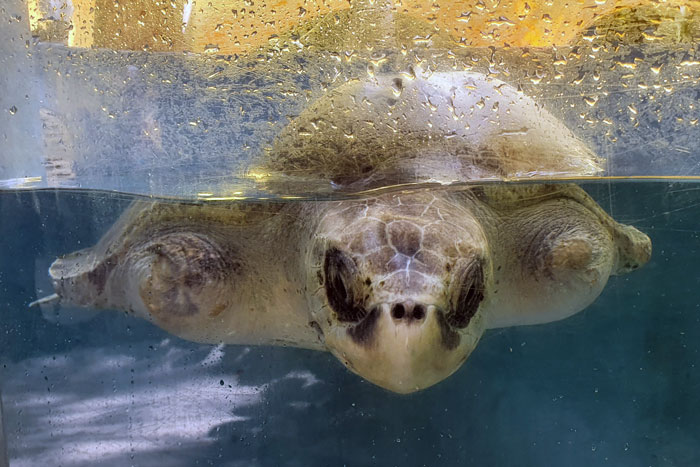 Turtle patient Buil, a double flipper amputee, in the tank at the Rescue Centre. Image.