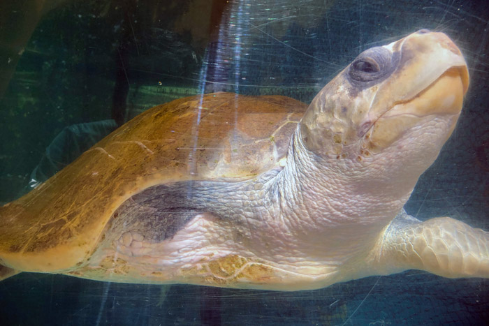Turtle patient Jannicke withher head raised. Image.