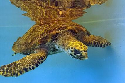 Turtle Patient Update Issue 5   2021