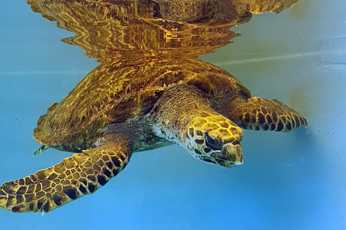 Sea turtle patien Owen, hawksbill, in his tank at the ORP Rescue Centre. Image.