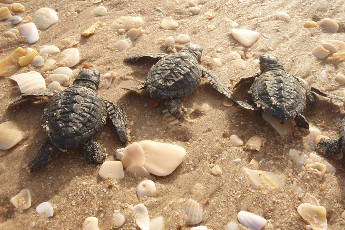 3 Kemp's ridley hatchlings on the beach. Image.