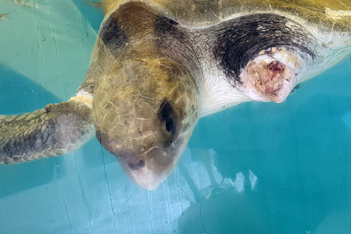 Turtle patient Bruce in the tank. Image.