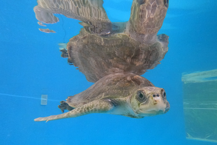 Turtle patient Bruce in his tank. Image.