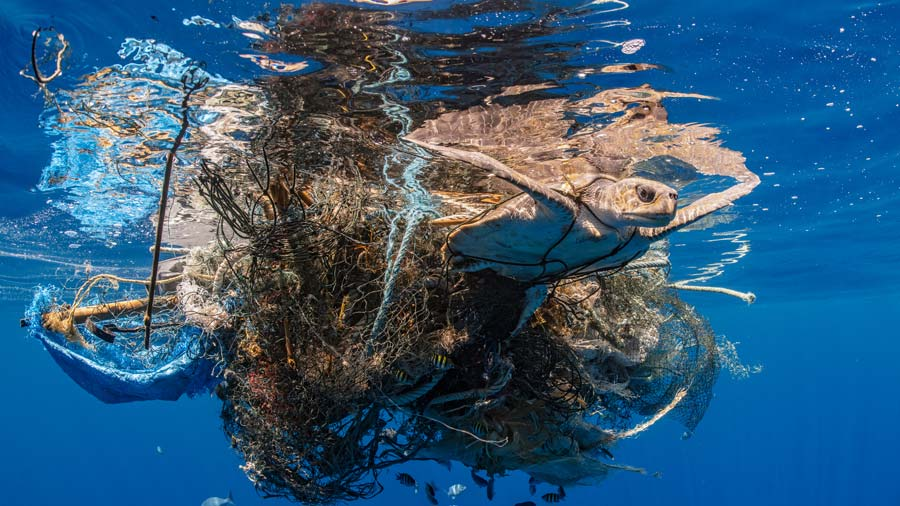 Olive ridley sea turtle entangled in ghost gear. Image.