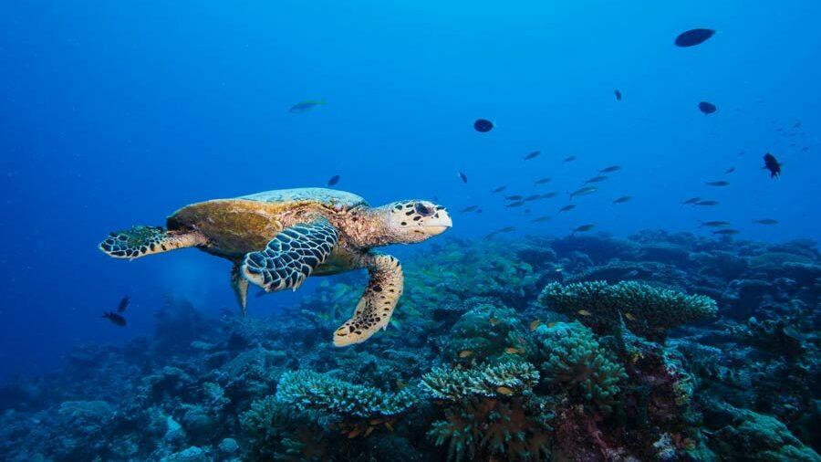 Hawksbill sea turtle swimming near a reef in Laamu atoll Maldives. Photo.