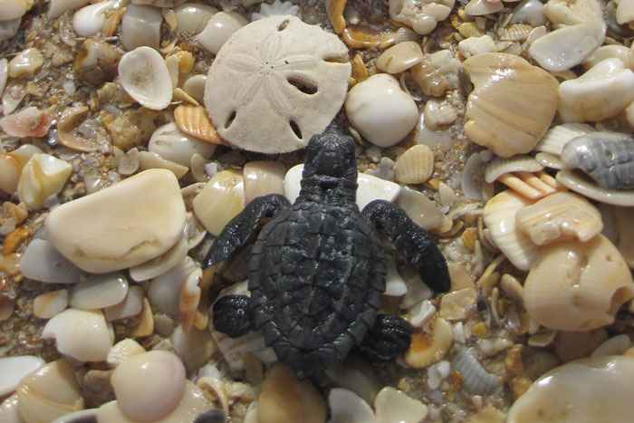 Kemp's ridley hatchling on the beach. Image.
