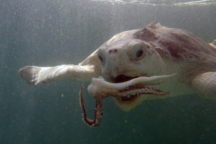 Kemp's ridely turtle eating a squid. Image.