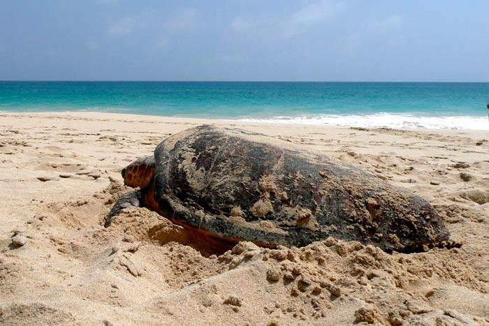 Nesting loggerhead turtle. Image.