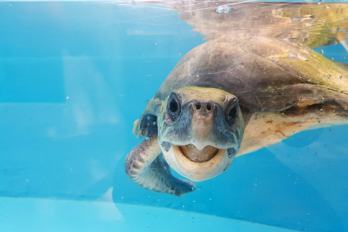 Rosie-Olive-ridley-happy-turtle-patient-ORP-turtle-rescue-centre-Maldives
