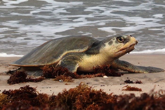 Female Kemp's ridley turtle coming out of the sea, Mexico. Image.
