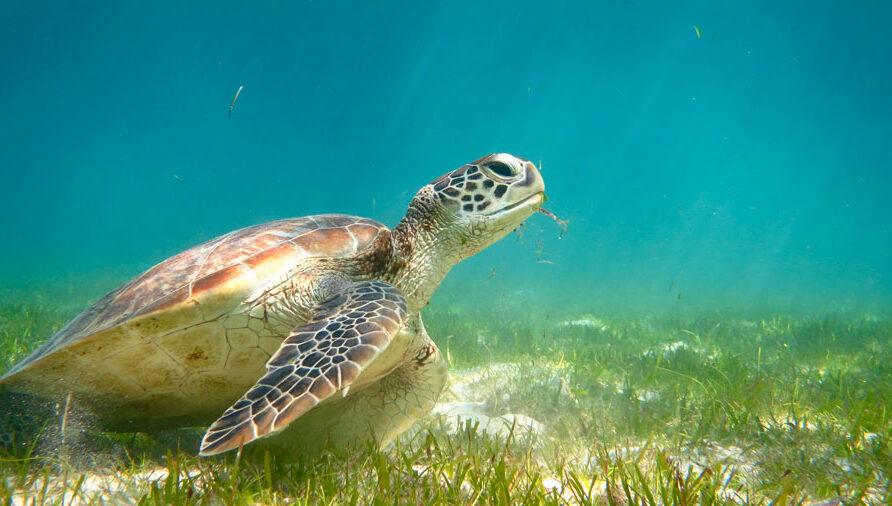Green turtle eating sea grass, Lhaviyani Atoll, Maldives. Image.