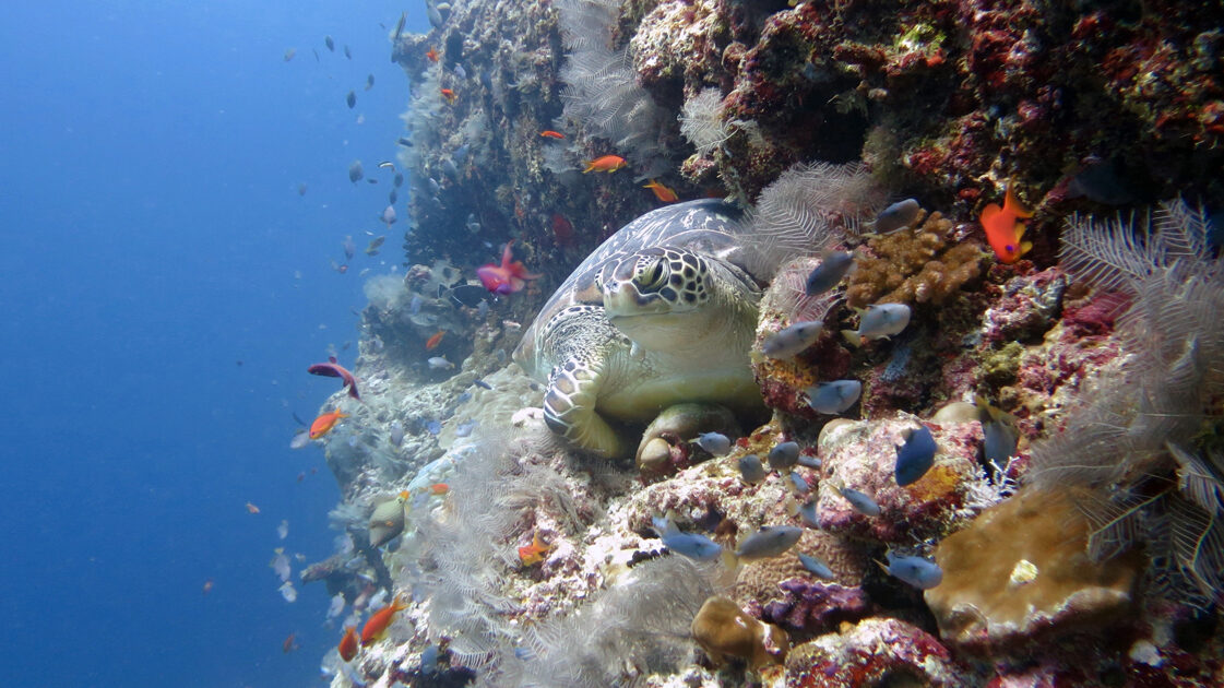Green sea turtle resting on a colourful reef in the Maldives. Image.