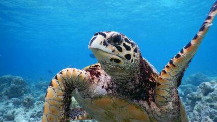 Vacancy: Sea Turtle Biologist, Noonu Atoll, Maldives