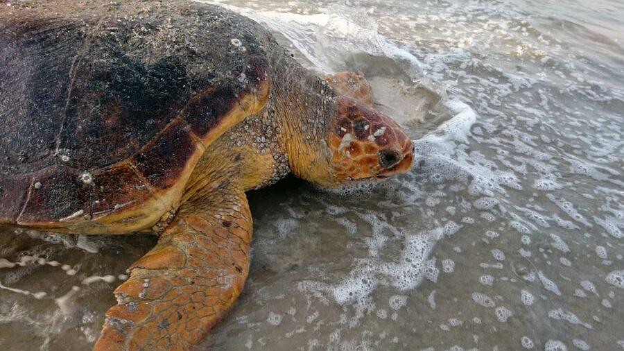 Loggerhead sea turtle, Oman. Image.