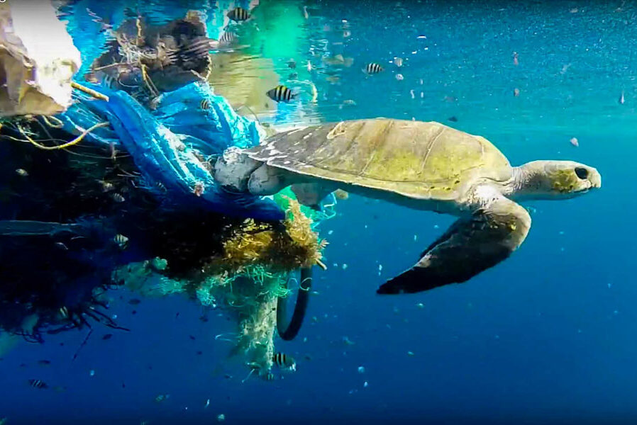 Olive Ridley turtle caught in a ghost net. Image.