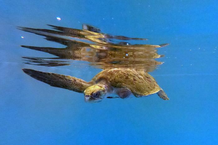 Turtle patient Thari, flipper amputee. Image.