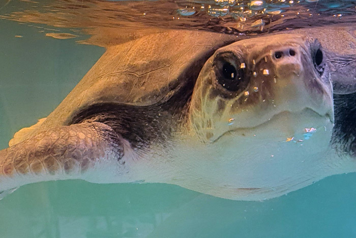 Turtle patient Bruce closeup. Image.
