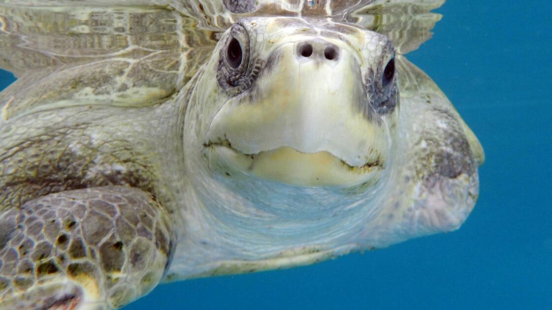 Turtle patient Heidi, ghost gear victim