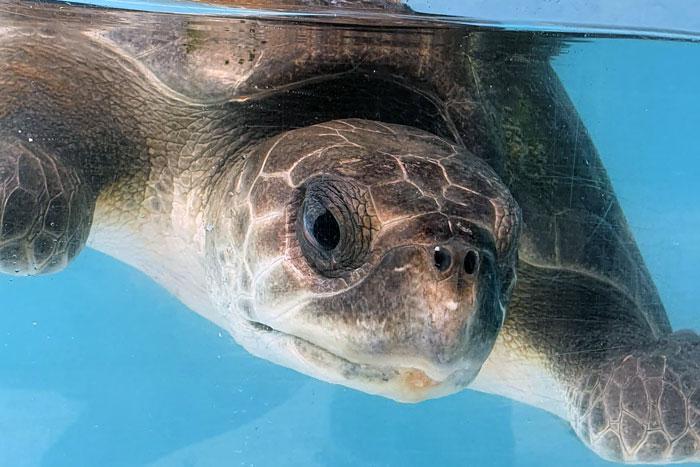 Turtle patient Jum in his tank. Image.