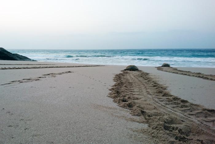 Nesting turtles returning to the sea, Oman. Image.