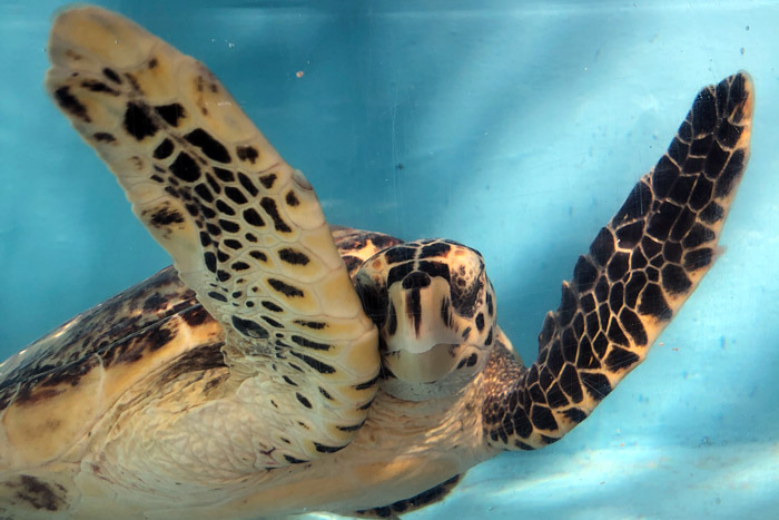 Hawksbuill turtle patient Dinah with raised flippers. Image.