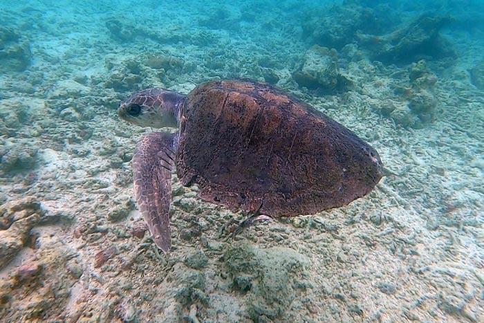 Turtle patient Tibby on a sea swim. Image.