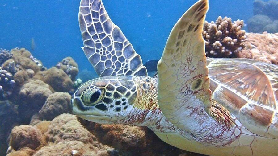 green turtle swimming in the sea