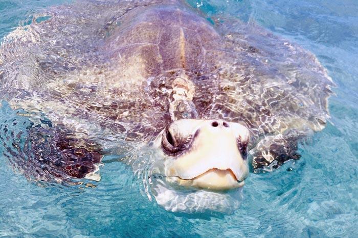 Turtle patient Heidi on a swa swim. Image.