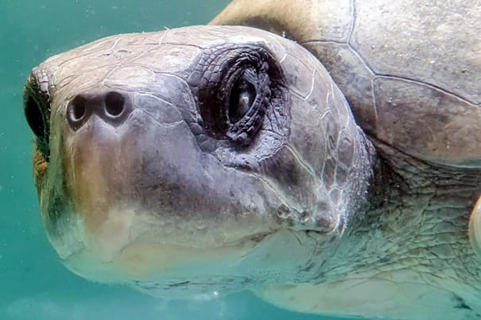 Close-up of turtle patient Tibby. Image.