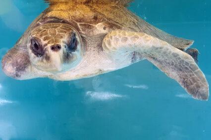 Turtle Patient Update Issue 8 | 2021