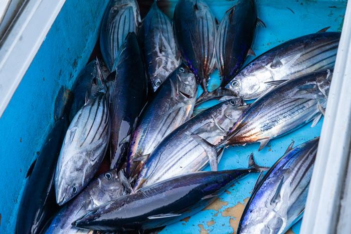 Tuna catch. Image.