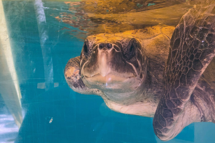 Turtle patient Tibby in her tank with raised flipper. Image.