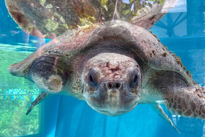 Turtle patient Jude in her tank. Image.