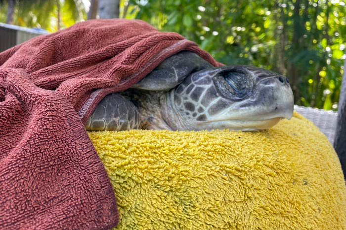 Medical checkup of turtle patient Moana. Image.