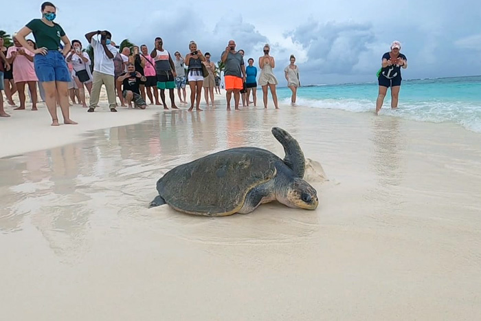 Turtle patient Jannicke being released from the beach. Image.