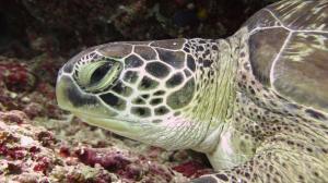 Clio, green turtle