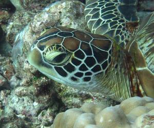 Pia, green turtle