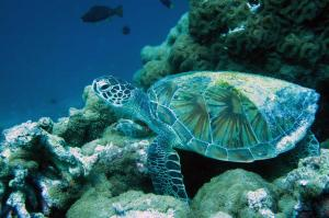 Rafie, green turtle