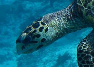 Aquasouls, hawksbill turtle