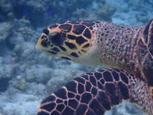 Senge, hawksbill turtle
