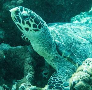 Ayesha, hawksbill turtle
