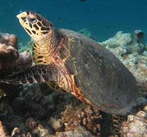 Ali Jappo, hawksbill turtle