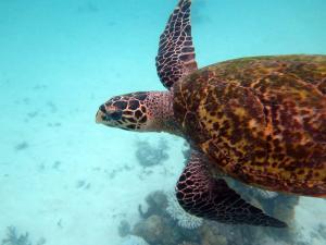Chloe, hawksbill turtle
