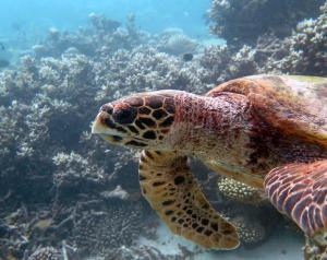 Zheng, hawksbill turtle