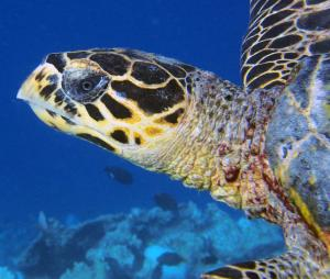 Lexa, hawksbill turtle